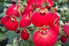 Pantoffelblume-Calynopsis